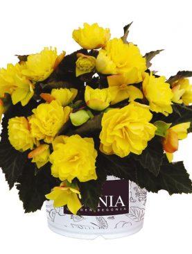 Begonia CITRIN