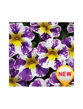 Calibrachoa Jambo GRAPE