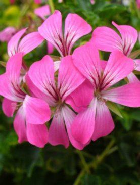 VDP DESREMAUX (Bicolor) Mutterpflanze