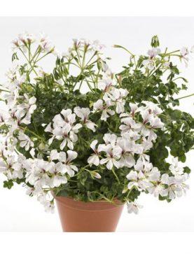 VDP DRESDEN / WHITE Mutterpflanze