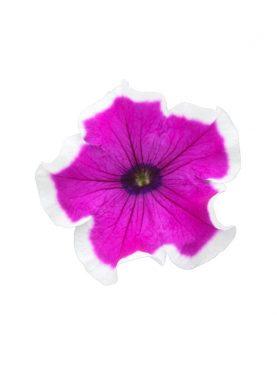 Petunia Style PURPLE PICOTEE