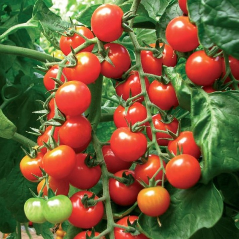Tomate C. Dolce F1
