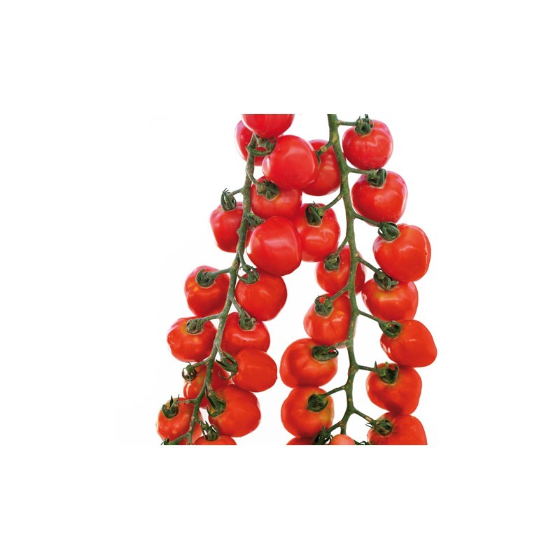 Tomate Gardenberry F1