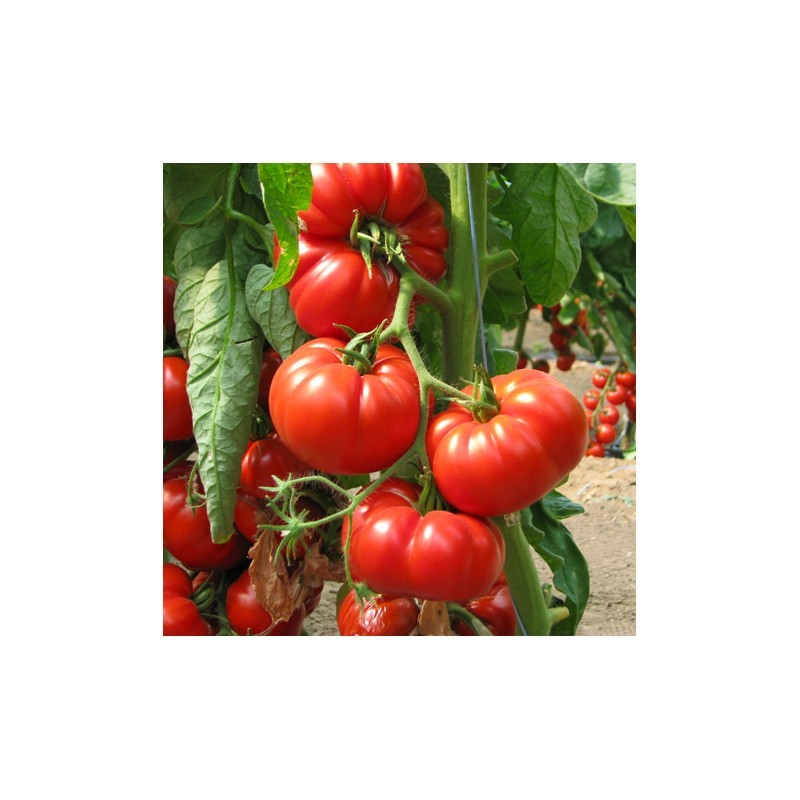 Tomate Marmande F1