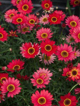 Argyranthemum RED ORANGE