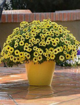 Argyranthemum YELLOW