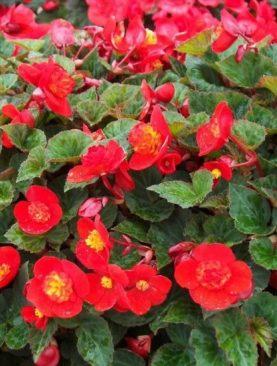 Begonia Flamboyant RED