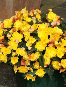 Begonia Goldfinch YELLOW