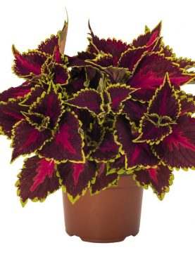 Coleus GREEN DARK RED