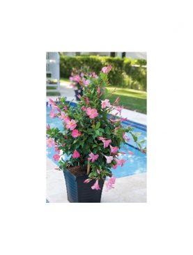 Dipladenia Beauty ROSE