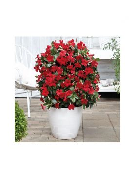 Dipladenia Beauty VERMILLION RED