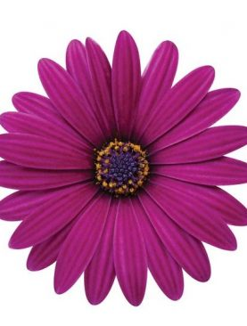 Osteospermum BURGUNDY / PURPLE