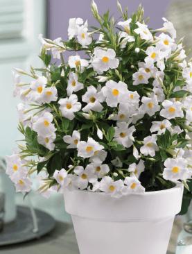 Dipladenia Beauty WHITE