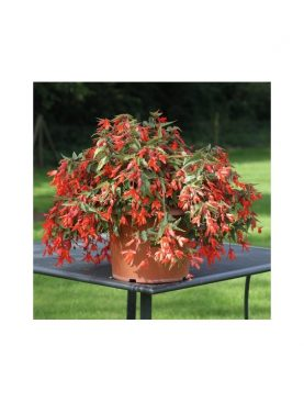 Begonia Bolivensis ORANGE