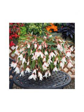 Begonia Bolivensis WHITE