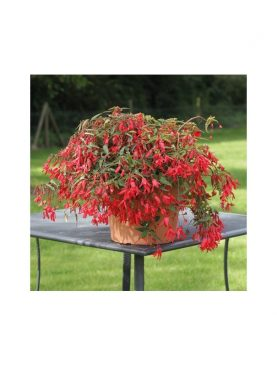 Begonia Bolivensis RED