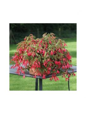 Begonia Bolivensis ROSE