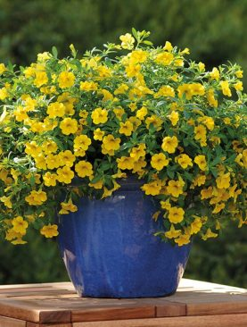 Calibrachoa Jambo YELLOW