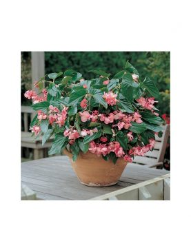 Begonia Dragon Wing PINK