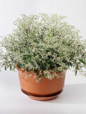Euphorbia SILVERFOG