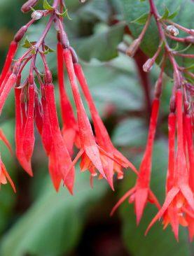 Fuchsia KORALLE