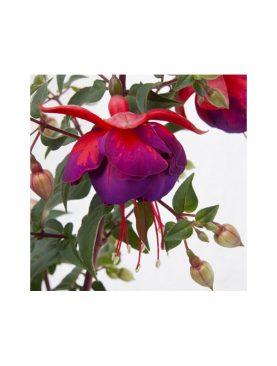 Fuchsia Jollies ALSACE (H)