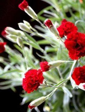 Nelken RED