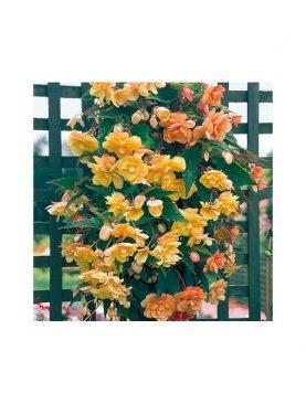 Begonia Illumination APRICOT