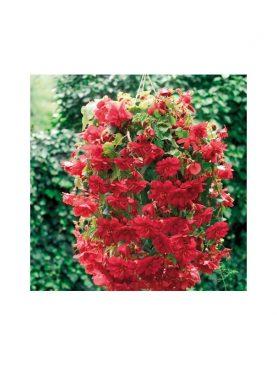 Begonia Illumination SCARLET