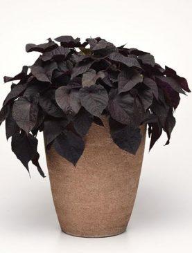 Ipomea BLACK