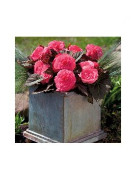 Begonia Mocca PINK SHADES
