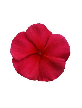 Vinca Cascade DARK RED