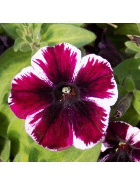 Petunia MARLEY