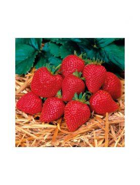 Erdbeere ELAN F1