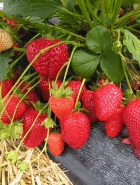 Erdbeere DIAMANTE
