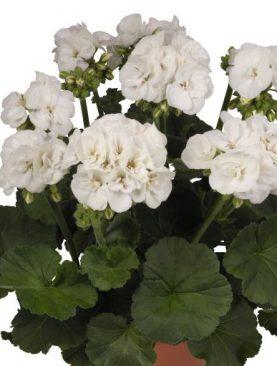 Zonale Green WHITE