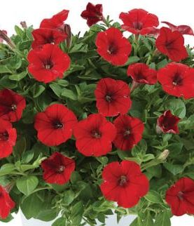 Petunia Little BRIGHT RED