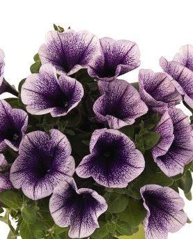 Petunia Plus BLUEBERRY
