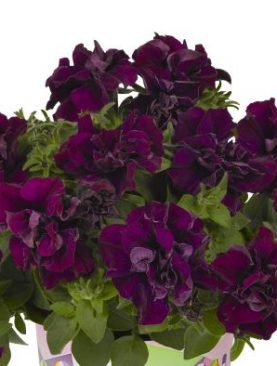 Petunia Double BURGUNDY