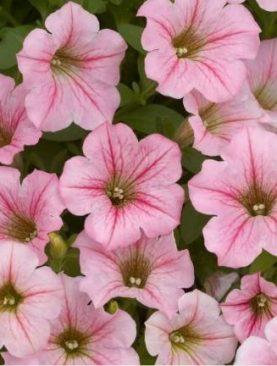 Petunia Little PINK