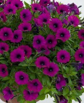 Petunia Litlle SHIRAZ