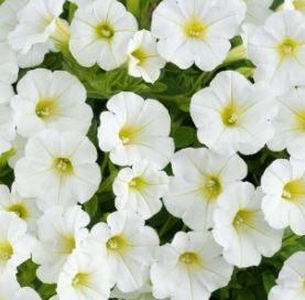 Petunia Little WHITE GRAZE