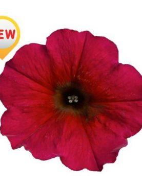 Petunia Petchoa BORDEAUX