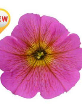 Petunia Petchoa SUNRAY PINK