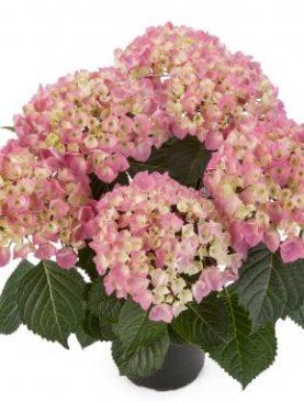 Hortensien STYLE PINK