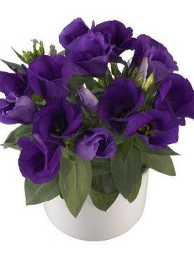 Lisianthus Carmen BLUE