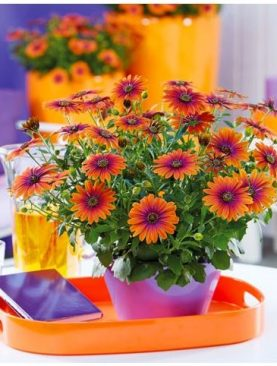 Osteospermum FlowerPower PURPLE SUN