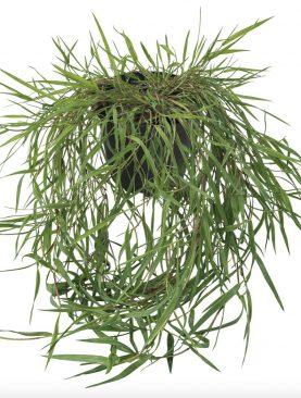 Agrostis GREEN TWIST