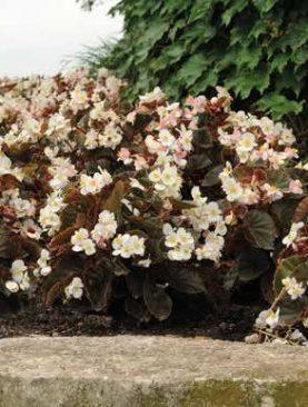 Begonia Baby Wing Bronze WHITE