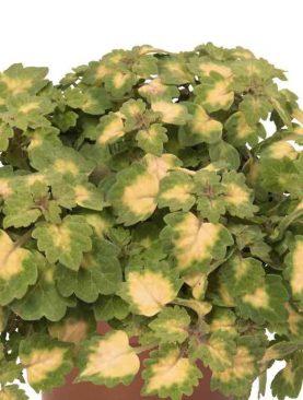 Coleus GREEN YELLOW